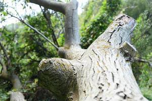 der Stamm eines alten umgestürzten Baumes im Wald foto