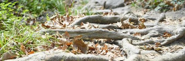 nackte Wurzeln von Bäumen, die im Herbst in felsigen Klippen aus dem Boden ragen foto