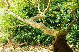 gefleckte Eukalyptusbaumrinde und grünes Laub foto