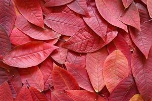 Hintergrund der gefallenen roten Kirschblätter des Herbstes foto