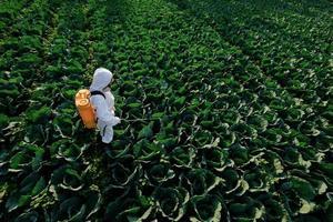 Gärtnerin in einem Schutzanzug und Maskensprühdünger auf riesige Kohlgemüsepflanze foto