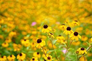 Feld der schwarzäugigen Susan Blumen am sonnigen Tag foto