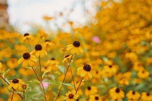 Feld der schwarzäugigen Susan am sonnigen Tag foto