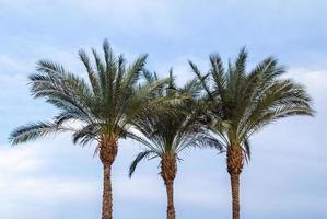 drei grüne Palmen gegen einen blauen Himmel foto