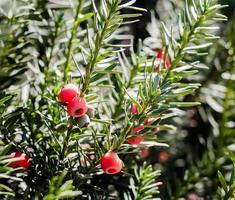 rote Beeren auf einem Zweig mit grünen Blättern foto