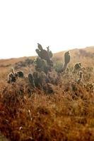 Kaktus in den Hügeln von Kalifornien foto