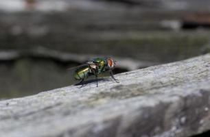 Makro Nahaufnahme einer Stubenfliege Cyclorrhapha, eine häufige Fliegenart in Häusern gefunden