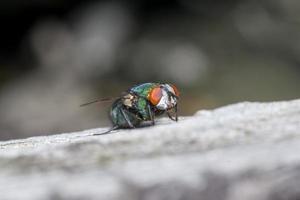 Makro Nahaufnahme einer Stubenfliege Cyclorrhapha, eine häufige Fliegenart in Häusern gefunden foto