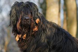 Hund mit Blättern im Fell foto