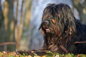 schwarzer Schäferhund mit Blättern foto