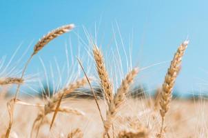 Nahaufnahme von Weizen