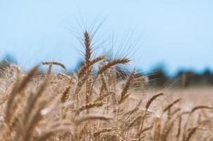 Weizenfeld während des Tages