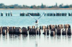 Möwe fliegt über Holzpfosten foto