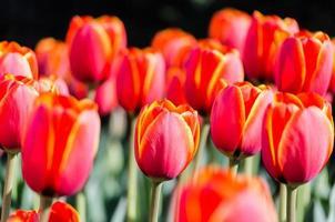 leuchtend gelbe und rote Tulpen