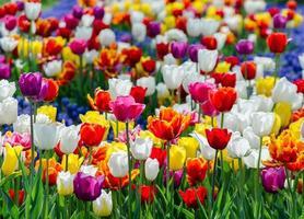 Feld der bunten Tulpenblumen