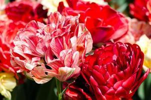 zotteliges Hybridrosa und Tulpen