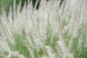 Nahaufnahme von blühenden Blumen des strohgedeckten Grases wachsen im wilden Feld foto