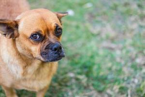 brauner Hund draußen foto