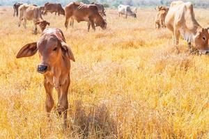 Kühe auf einem Feld foto
