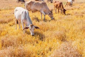 Kühe fressen Gras foto