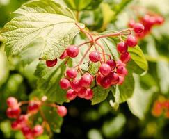 Zweig der roten Trauben foto