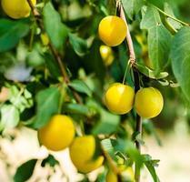 gelbe Pflaumen und grüne Blätter foto