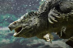 Kaimanschildkröte, die unter Wasser schwimmt