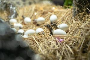 Nahaufnahme von neugeborenen Krokodilen aus den zerbrochenen Eiern auf dem Nest foto