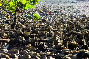 Der selektive Fokus auf die Wurzeln des Mangrovenbaums wächst an einem sonnigen Tag auf einem Feld aus Sandsteinen foto