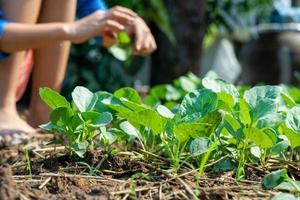 Nahaufnahmegruppe des jungen chinesischen Brokkolis im Gemüsegarten foto