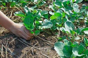 Draufsichthand des Mädchens, das das Gemüse vom Pflanzplatz erntet foto