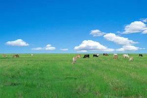 Eine Gruppe von Kühen frisst das Gras auf dem großen Feld foto
