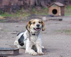 Welpe an einer Kette mit Hundehütte
