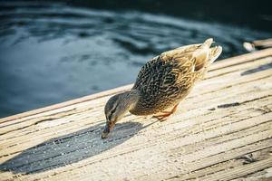 Ente frisst auf einer Holzbrücke foto