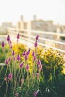violette Blumen auf dem Balkon foto