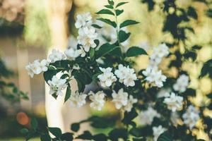 weiße Blüten an einem Weinstock foto