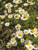 Kamillenfeld mit grünem Gras foto