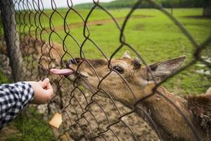 Person, die ein Reh hinter einem Zaun füttert foto
