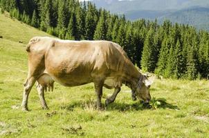 Kuh, die Gras mit Gebirgshintergrund isst foto