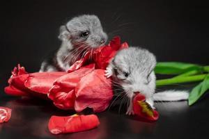 zwei Chinchillas mit Tulpen