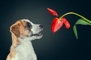 Welpe mit einer Tulpenblume foto