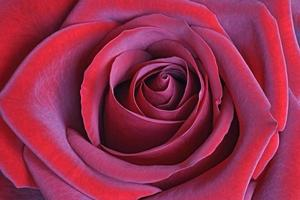 rote Rosenblume foto