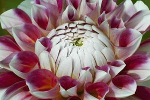 Dahlienblüte Dahlie x Cultorum foto