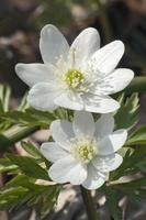 Amur Anemone Anemone Amurensis foto