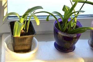 grüne Blumensämlinge in Töpfen auf der Fensterbank foto