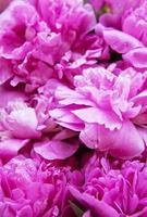 rosa Pfingstrosenblumen als Hintergrund foto