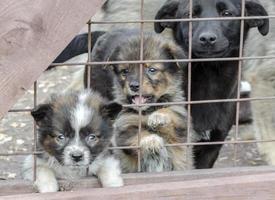 drei traurige Welpen hinter einem Zaun foto