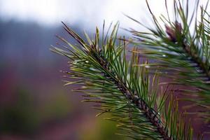 Zweig der immergrünen Nadelkiefer auf unscharfem Waldhintergrund mit Tautropfen foto