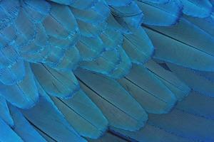 Nahaufnahme bunte blaue Federn foto