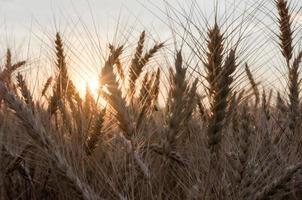 untergehende Sonne auf einem Weizenfeld foto